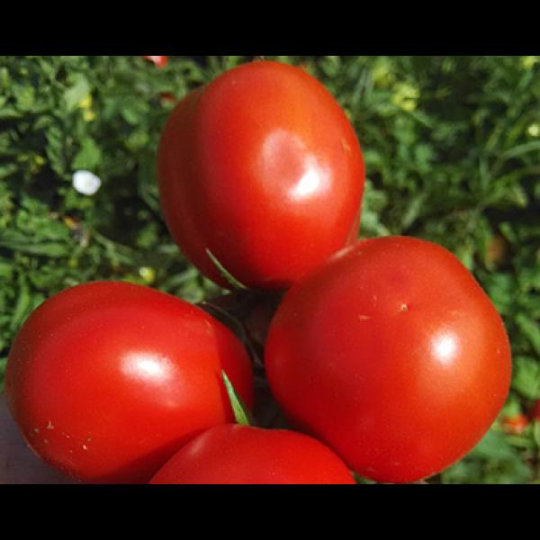 Эдвайзор F1 - семена томата, Esasem
