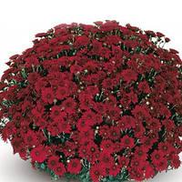 Хризантема Камина Red саженец (горшечная мелкоцветная ранняя (мультифлора))