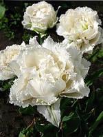 Тюльпан бахромчатый махровый Snow Crystal (Сноу Кристал) 2 шт./уп.