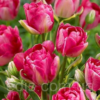 Тюльпан махровий багатоквітковий Granda (Гранда) 3 шт./уп., фото 2