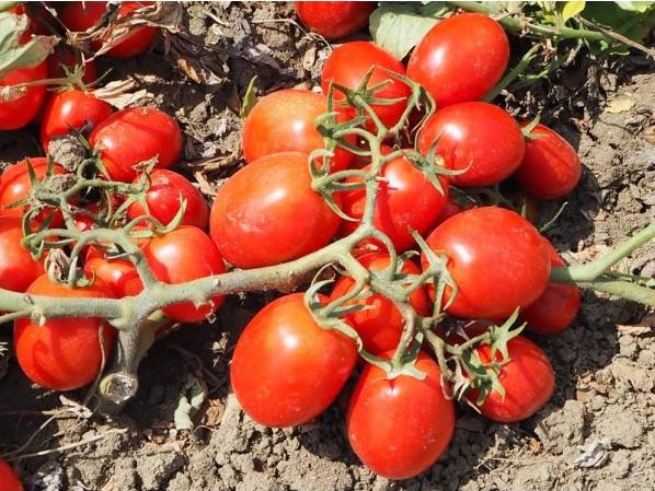 Квикфаер F1 - семена томата, Esasem