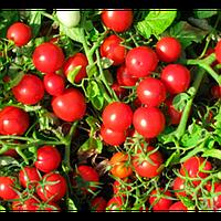 Семена томата Руфус F1, Esasem 1 000 семян