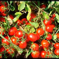 Волли Ред F1 - семена томата, Esasem