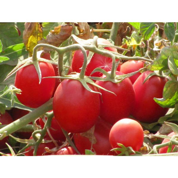 Калиендо F1 - семена томата, Esasem