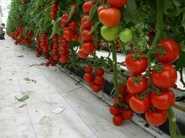 выращивание томатов в зимних теплицах