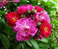 Роза Perennial Blue ® (Многолетний синий)