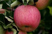 Саджанці яблунь  Пірос (Пирос, Piros)
