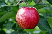 Саджанці яблунь  Самаред (Samered, Summerred, Саммеред)