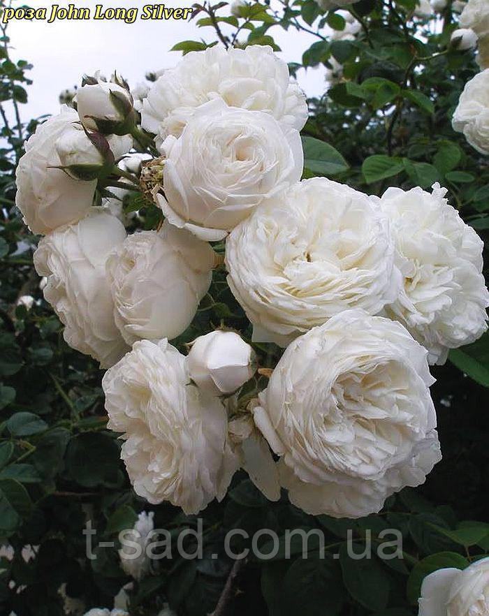 Роза Long John Silver (Джон Лонг Силвер)