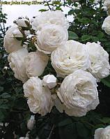 Роза Long John Silver (Джон Лонг Силвер) , фото 1
