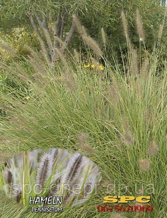 Пеннисетум Hameln, фото 2
