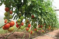 Вирощування томатів взимку