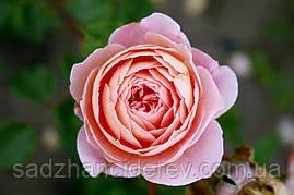 Саджанці троянд Абрахам Дербі (Abraham Darby, Абрахам Дерби)