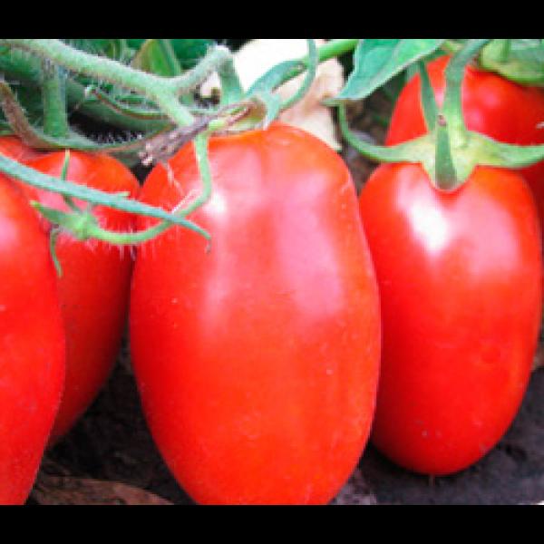 Гладис F1 - семена томата, Esasem
