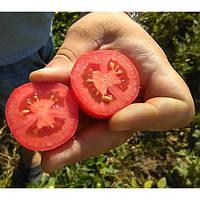 Кальверт F1 - семена томата, Esasem