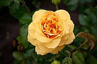Саджанці троянд  Вестфаленпарк (Westfalenpark, Chevreuse, KORplavi), фото 1