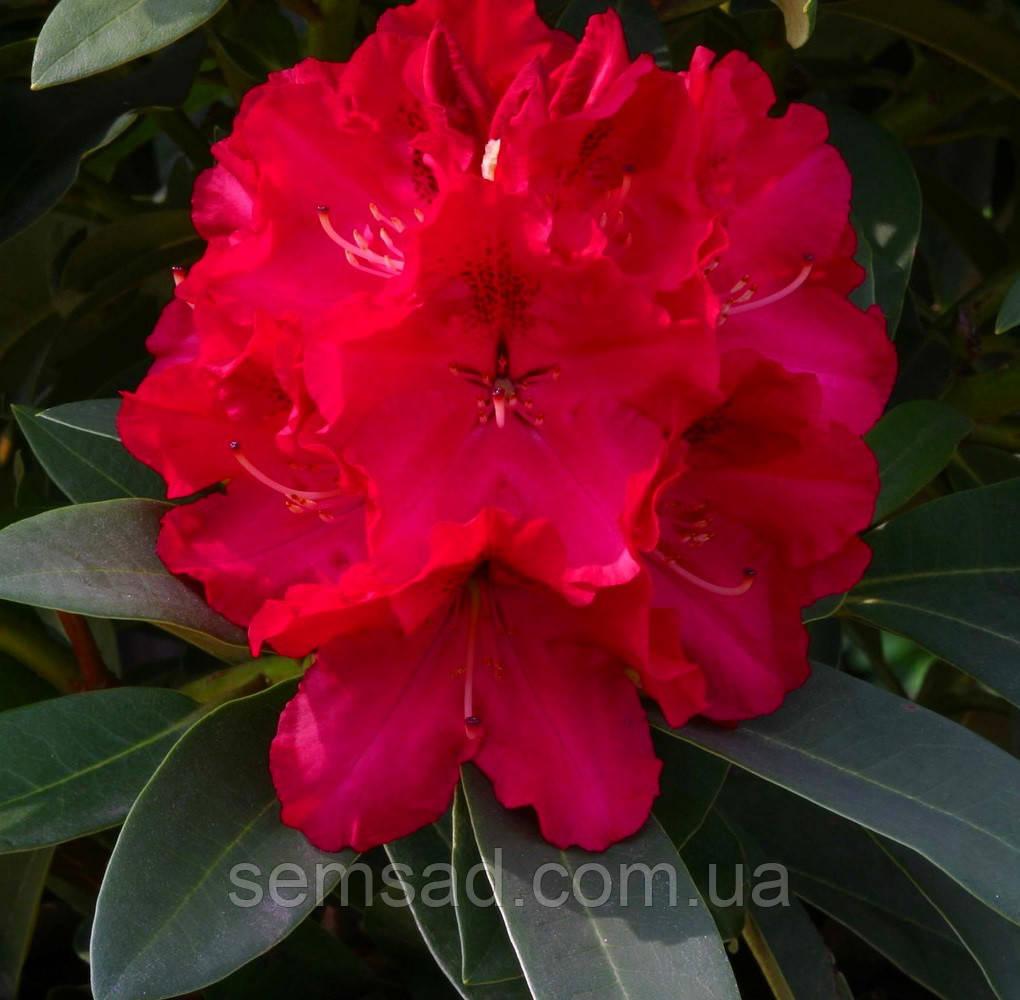 """Рододендрон  вечнозеленый """" Вилден Руби """" (саженцы 2 года ЗКС) Rhododendron'Wilgens Ruby''"""