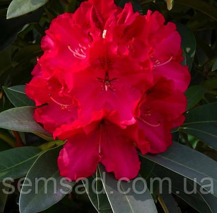 """Рододендрон  вечнозеленый """" Вилден Руби """" (саженцы 2 года ЗКС) Rhododendron'Wilgens Ruby'', фото 2"""