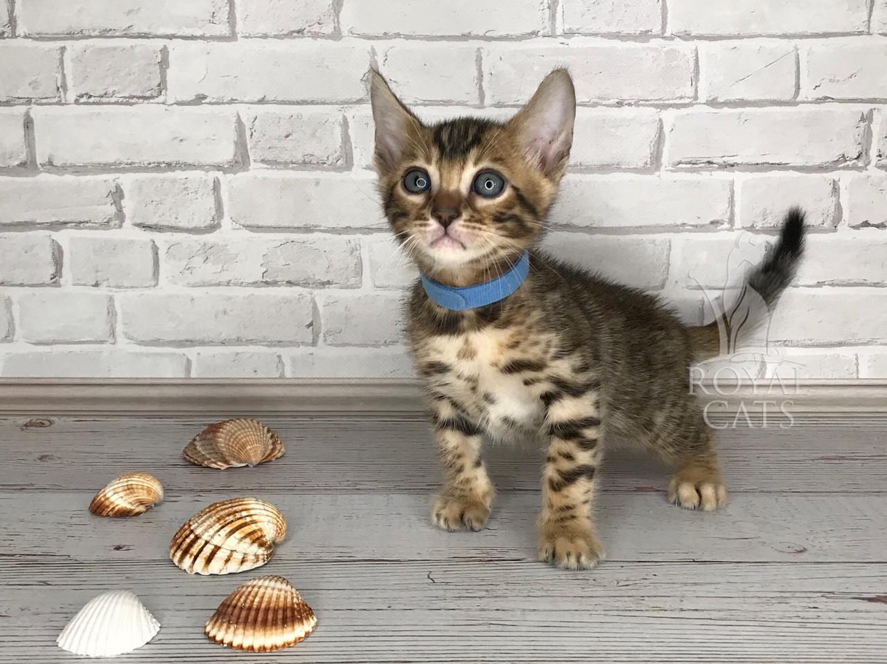 Мальчик 17.06.18. (Синий) Бенгальский котёнок питомника Royal Cats.