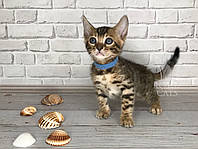 Мальчик 17.06.18. (Синий) Бенгальский котёнок питомника Royal Cats., фото 1