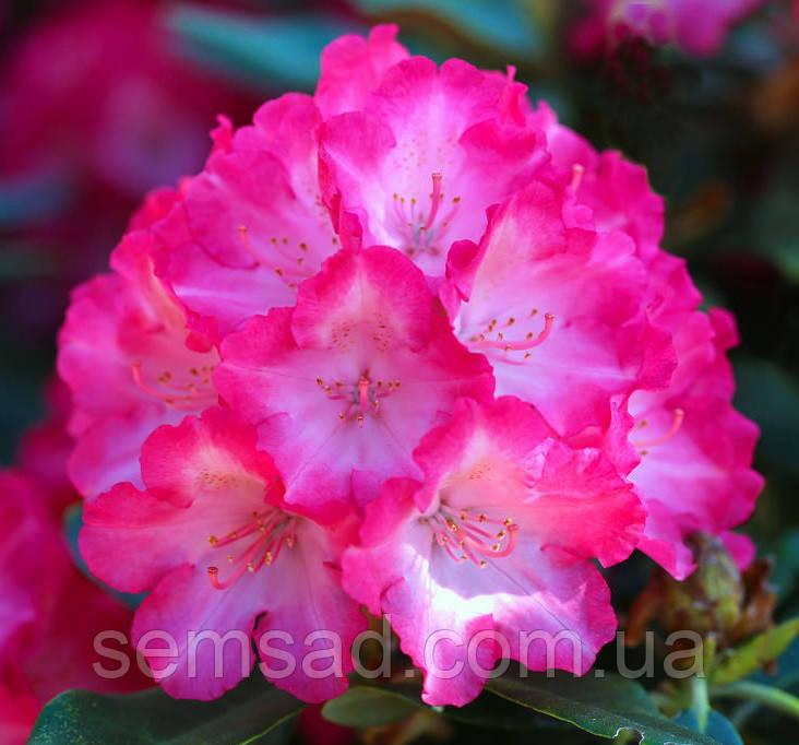 "Рододендрон  вечнозеленый "" Фантастика "" (саженцы 3 года ЗКС) Rhododendron 'Fantastica'''"