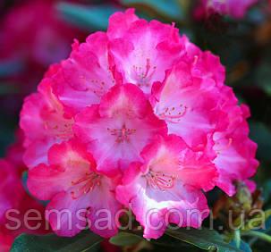 "Рододендрон  вечнозеленый "" Фантастика "" (саженцы 3 года ЗКС) Rhododendron 'Fantastica''', фото 2"