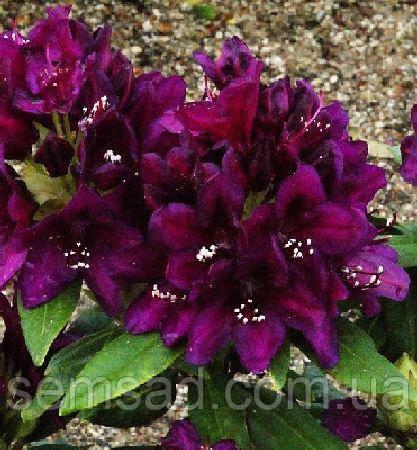 "Рододендрон  вечнозеленый "" Полярная Ночь "" (саженцы 2 года ЗКС) Rhododendron  ""Polarnacht''"