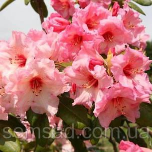 """Рододендрон  вечнозеленый """" Вирджиния Ричард """" (саженцы 2 года ) Rhododendron ''Virginia Richards'', фото 2"""