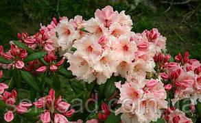 """Рододендрон  вечнозеленый """" Вирджиния Ричард """" (саженцы 2 года ) Rhododendron ''Virginia Richards'', фото 3"""