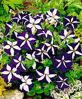 Семена петуния звезда