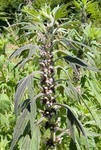 Пустырник сердечный лекарственная трава