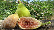 Инжир «Серый ранний» — растение 15-20 см