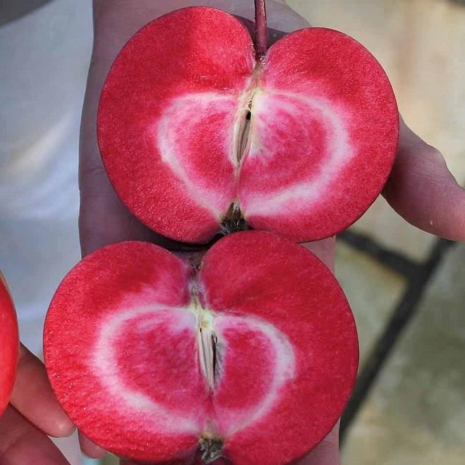 Саженцы Яблони Ред Пэшн - красномясая, осенняя, крупноплодная