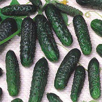 Семена огурца Маша F1 (250 сем.)