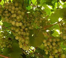Виноградная лоза не только декор