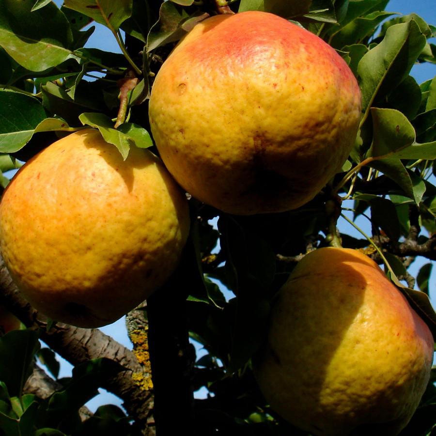 Саженцы Груши Нарт (Nart) - среднего срока, крупноплодная, сочная
