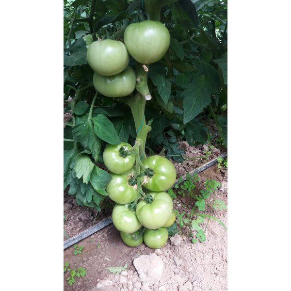 Пинк парадайз F1 - семена томата, Sakata