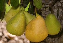 Компактні сорти фруктових дерев: новинки 2018 року