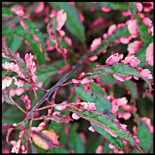 Саженцы Сливы растопыренной Хессея (Prunus cerasifera Hessei)