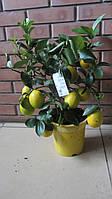 Лимонное мейера с плодами