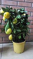 Лимонное мейера с плодами на подставке