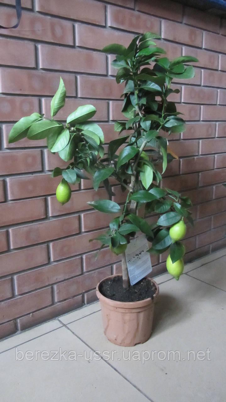 Лимон с плодами на штамбе