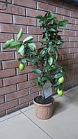 Лимон с плодами на штамбе, фото 1