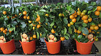 Мандарин комнатный с плодами, каламондин
