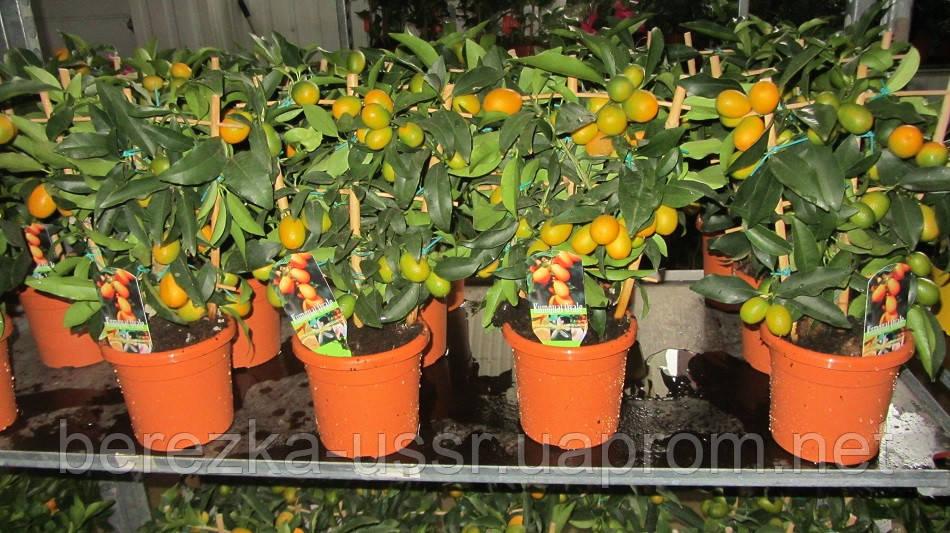 Кумкват (маргарита, нагами) с плодами