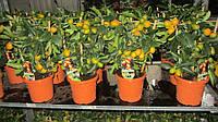 Кумкват (маргарита, нагами) с плодами, фото 1
