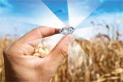 Насіння кукурудзи ОКСІТАН ФАО 360