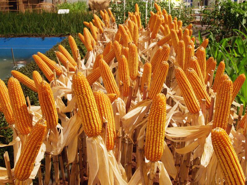 Семена кукурузы Муасон, ФАО 310