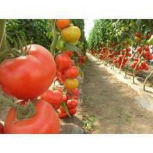 Насіння томату Аксіома F1 (500 сем.) Nunhems