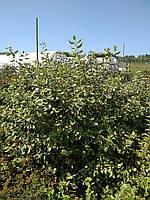 Дерен Білий, фото 1